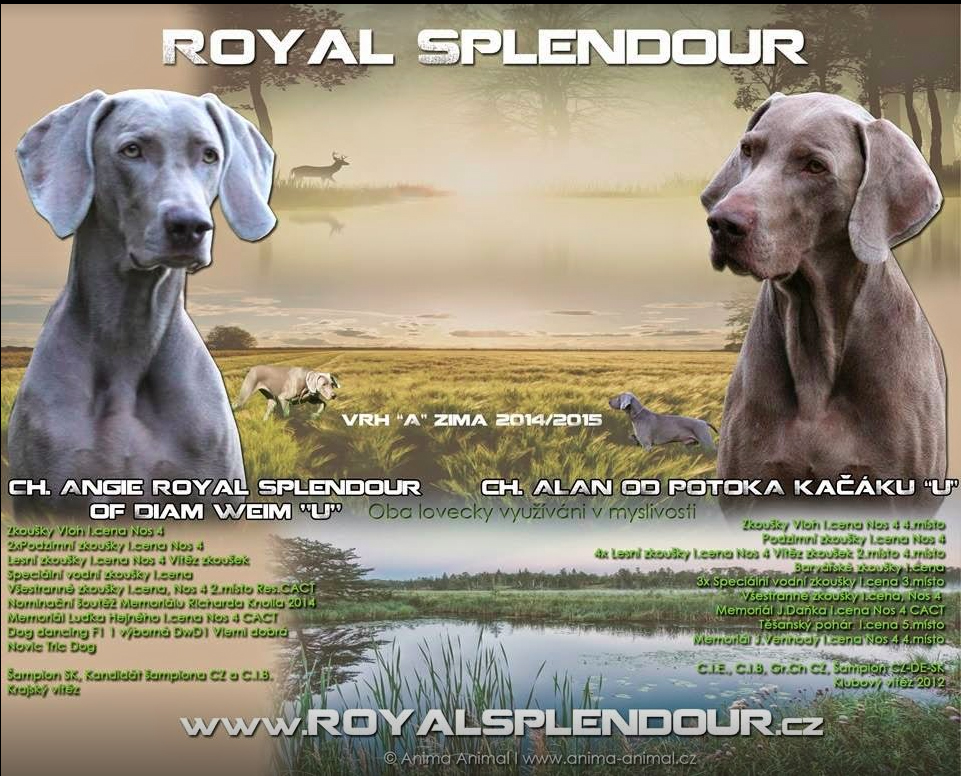 Weimaraner Alacer Royal Splendour